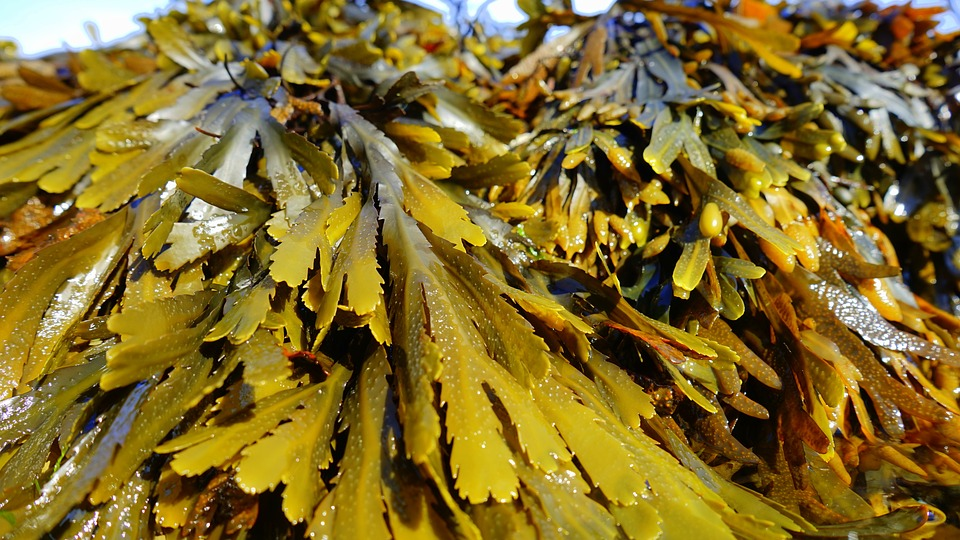 New report dives into the global seaweed extracts market